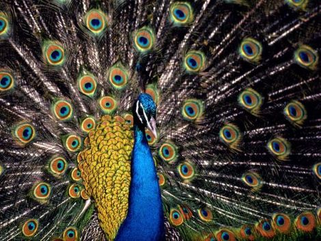 Showy spending or conspicuous consumption in human males may be akin to how a peacock tries to attract peahen by spending resources of his feathers.